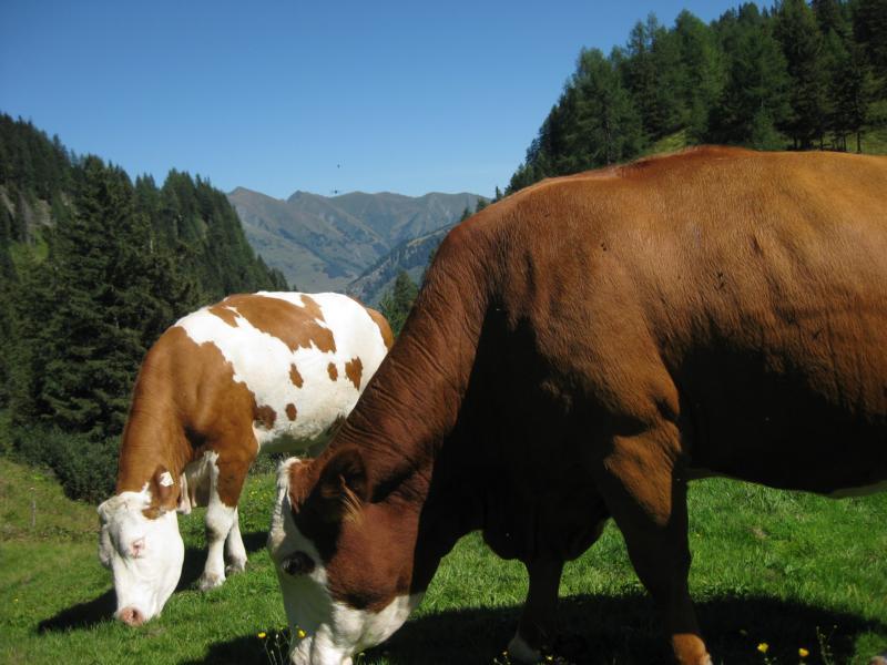 Wo ein Alm ist, sind auch Kühe.